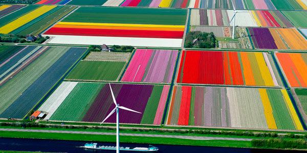 поля из тюльпанов