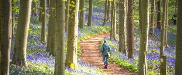 Синий лес Халлербос, Бельгия